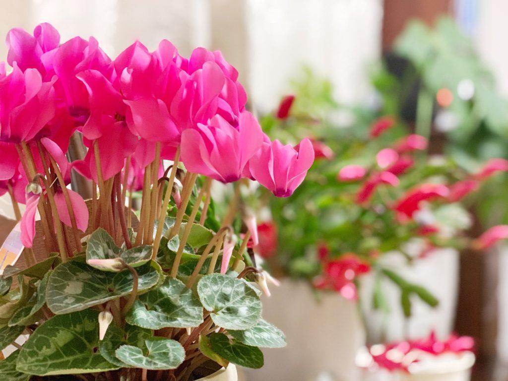 自分の好きな花シクラメンの画像